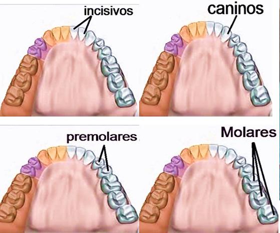 tipos de dientes